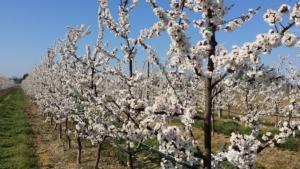 frutticoltura-albero-in-fiore-rubrica-agroinnovatori-lug-2019-fonte-azienda-agricola-bertoni-gian-paolo