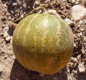 frutto-di-citrullus-colocynthis-coloquintide-primo-art-giug-2020-rosato-fonte-andrea-moro-uni-trieste