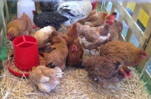 L'inarrestabile influenza aviaria