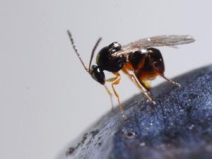 ganaspis-brasiliensis-parassitoide-della-drosophila-suzukii-mag-2020-fonte-fondazione-edmund-mach