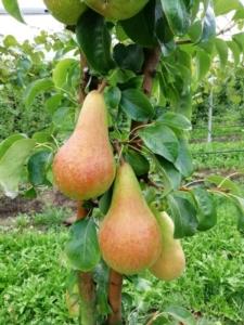 Crea 194*, la pera precoce con più vita e più gusto - Plantgest news sulle varietà di piante