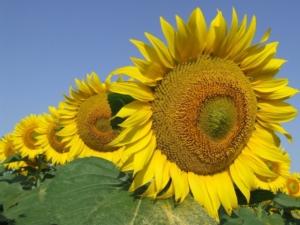 Il girasole in Italia: ricerca, usi industriali e prospettive - Plantgest news sulle varietà di piante