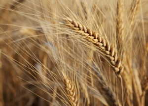 Valagro, le soluzioni antistress per il frumento - le news di Fertilgest sui fertilizzanti