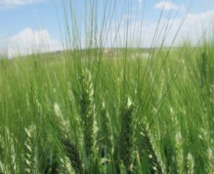Fungicidi cereali: le differenze che fanno il risultato