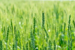 Cereali, il piano nutrizionale è targato Green Has Italia - le news di Fertilgest sui fertilizzanti