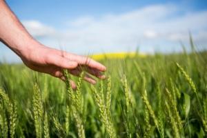 Mantograno, la filiera è avviata - Plantgest news sulle varietà di piante