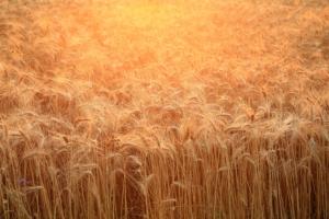 grano-frumento-campo-cereali-by-mahlebashieva-adobe-stock-750x500