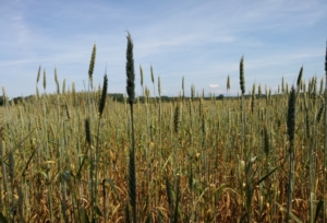grano-frumento-cereali-agricoltura-by-matteo-giusti-agronotizie-jpg