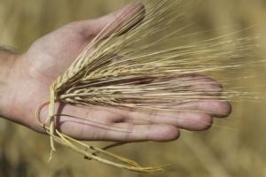 Difesa fungicida, per mais e frumento il futuro passa dalla rucola