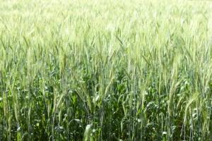 grano-frumento-verde-by-sarote-fotolia-750