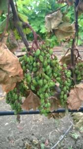 grappolo-uva-mal-del-esca-marsala-trapani-fonte-belchim