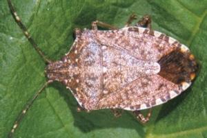 halyomorpha-halys-fonte-consorzio-agrario-emilia