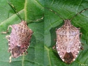 halyomorpha-halys-maschio-e-femmina-fonte-s-bortolini-unimore