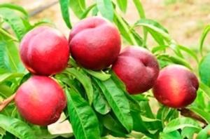 """International plant selection: """"Sostenere la sperimentazione sul pesco"""" - Plantgest news sulle varietà di piante"""