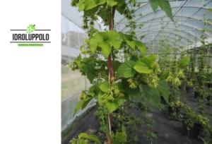 idroluppolo-luppolo-serra-logo-by-alessio-saccoccio-jpg