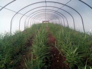 impinato-zenzero-in-serra-gen-2020-fonte-agritechno