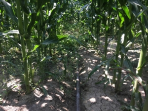 irrigazione-goccia-mais-cab-massari-750x500
