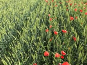 Jura<sup>® </sup>EC: soluzione efficace per il controllo delle infestanti dei cereali a paglia