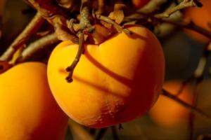Kaki, una nicchia che guarda al futuro - Plantgest news sulle varietà di piante