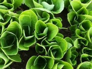 Le baby leaf Enza Zaden, tra gusto e shelf life - Plantgest news sulle varietà di piante