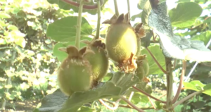 kiwi-actinidia-cattura-immagine-video-barbara-righini-giugno-2017-ipg