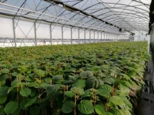 Kiwi Boerica<sup>*</sup>: il segreto è nel processo - Plantgest news sulle varietà di piante