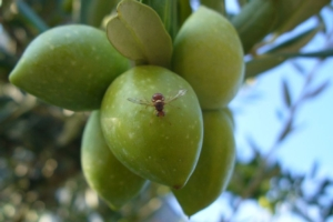 Mosca dell'olivo, la difesa deve iniziare in inverno