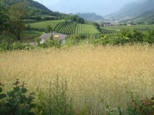 Antichi cereali per il pane trentino delle Alpi - Plantgest news sulle varietà di piante