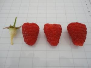 Frutti di bosco e Romagna, un binomio di qualità - Plantgest news sulle varietà di piante