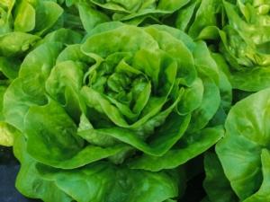 Una partnership targata Enza Zaden Italia e Iodice srl - Plantgest news sulle varietà di piante