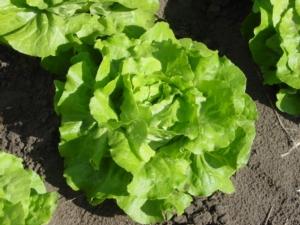lattuga-cappuccia-lusia-fonte-consorzio-tutela-insalata-lusia-igp