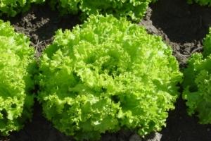 Lattuga, con l'innovazione si cambia - Plantgest news sulle varietà di piante