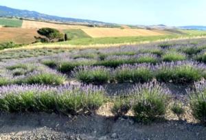 Toscana, l'irresistibile successo della lavanda - Plantgest news sulle varietà di piante