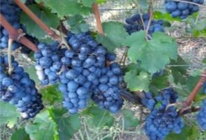 Arsial, la vendemmia dei vitigni resistenti - Plantgest news sulle varietà di piante