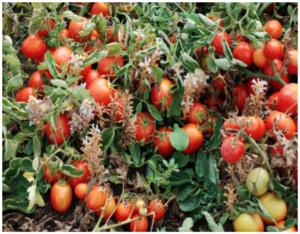 Medaglia d'oro per il pomodoro - colture - Fertilgest