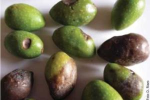 Lebbra dell'olivo, ecco la strategia corretta di difesa