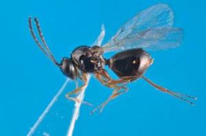 Fem: piccole vespe per combattere la Drosophila