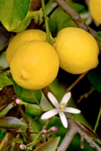 limone-siracusa-igp-consorzio-tutela