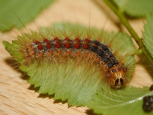 lymantria-dispar-larva-by-alwimater-wikipedia-jpg