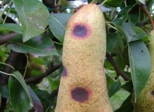 maculatura-bruna-del-pero-fonte-riccardo-bugiani-servizio-fitosanitario-regione-emilia-romagna-2