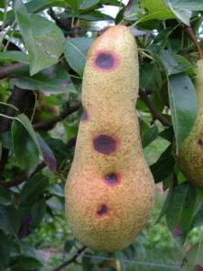 maculatura-bruna-del-pero-fonte-riccardo-bugiani-servizio-fitosanitario-regione-emilia-romagna