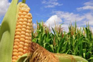 Sostenibilità e produzione del mais: un binomio possibile con Unimer - le news di Fertilgest sui fertilizzanti