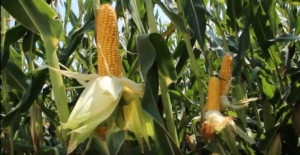 mais-cereali-cerealicoltura-fonte-kws