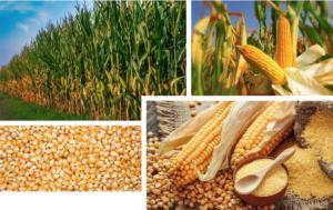 Unimer: la nutrizione sostenibile del mais per un futuro migliore - le news di Fertilgest sui fertilizzanti