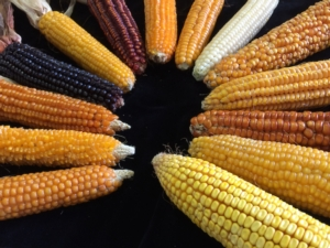 Valomays, caratterizzare le varietà di mais per reintrodurle nei territori di origine - Plantgest news sulle varietà di piante