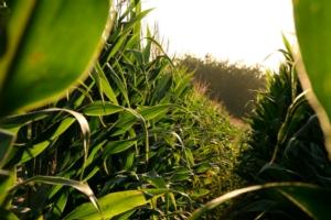 Un accordo per il mais - Plantgest news sulle varietà di piante