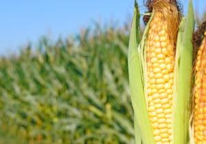 Mais 2019, si prevede un mercato rialzista - Plantgest news sulle varietà di piante