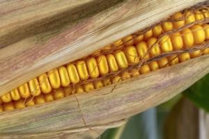 Mais, come massimizzare rese e produzione - Plantgest news sulle varietà di piante