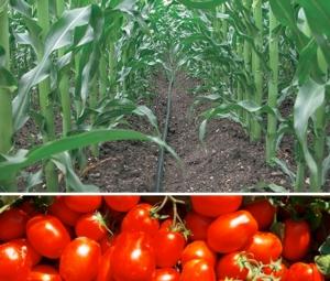 mais-pomodoro-da-industria-irrigazione-by-netafim-syngenta