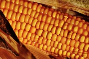 Salvate il mais italiano - Plantgest news sulle varietà di piante